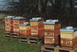 Bienen_152